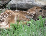 Deer Fawn in Carbon County, WY
